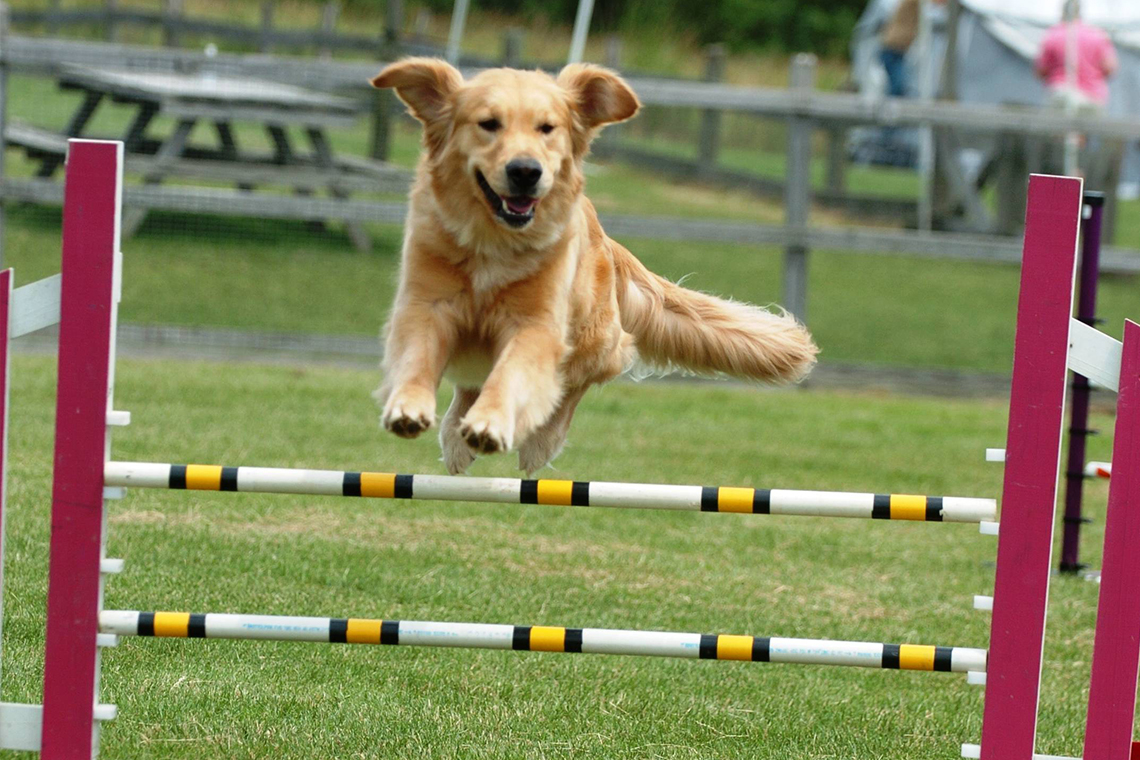 Golden Retriever jumping during dog agility